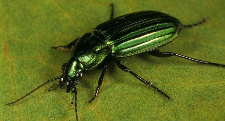What Is the Fastest Insect?