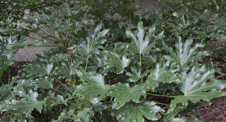 What Is Fatsia Japonica?