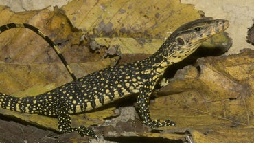 What Do Eastern Fence Lizards Eat Reference Com
