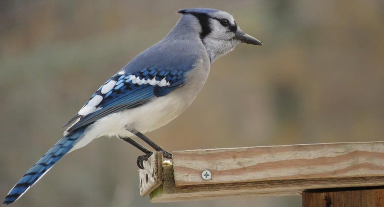 What Does a Female Blue Jay Look Like?