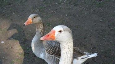 What Is a Female Goose Called?