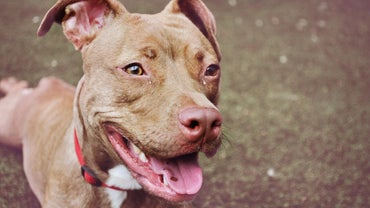 When Is a Female Pit Bull Ready to Breed?