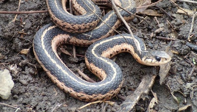 What Is a Female Snake Called?