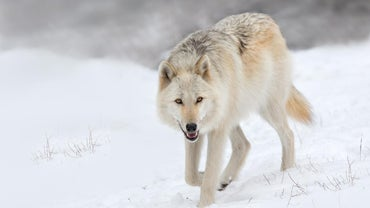 What Is a Female Wolf Called?