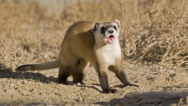 What Is the Ferret War Dance?