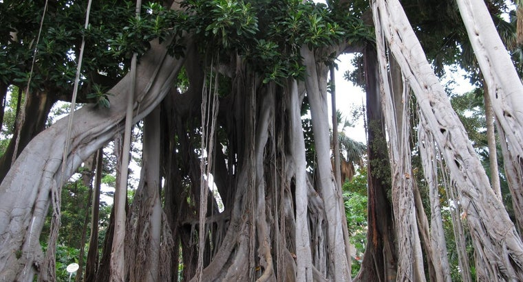 Are Ficus Trees Poisonous to Dogs?