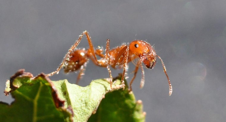 Where Do Fire Ants Live?