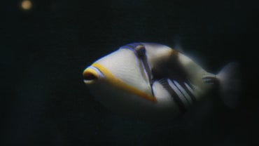 Is There a Fish Called the Humuhumunukunukuapua?