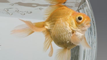Which Fish Are Compatible With Goldfish?