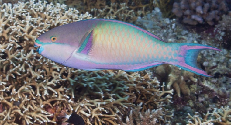What Fish Eat Parrotfish?