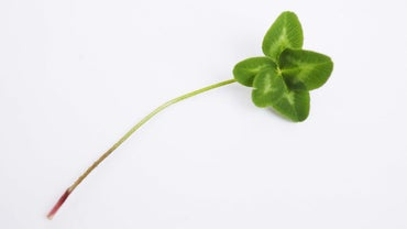 Is a Five-Leaf Clover Lucky?