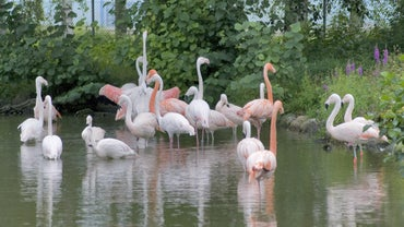 Are Flamingos Endangered?