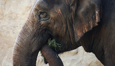 What Food Do Elephants Eat?