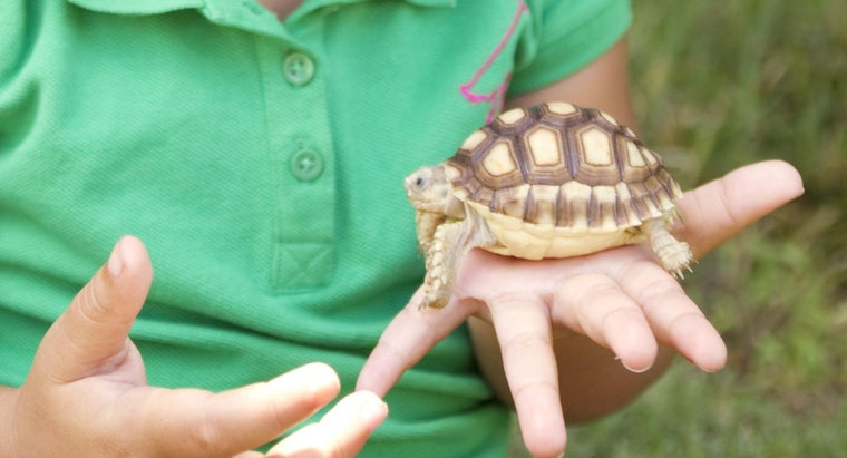 What Is the Best Food for a Pet Tortoise?