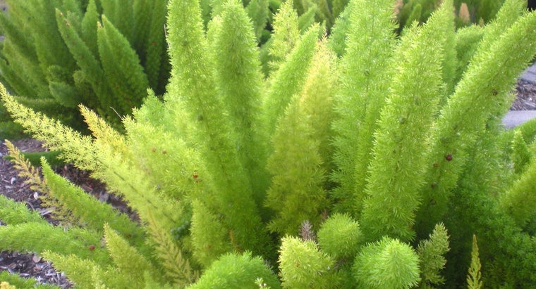 What Is a Fox Tail Fern?