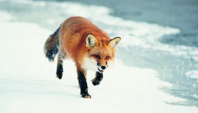 What Do Foxes Eat?