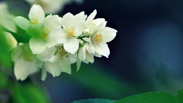 What Is the Most Fragrant Jasmine Plant?