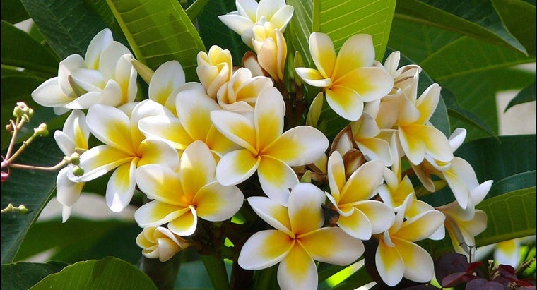 What Is a Frangipani Tree?