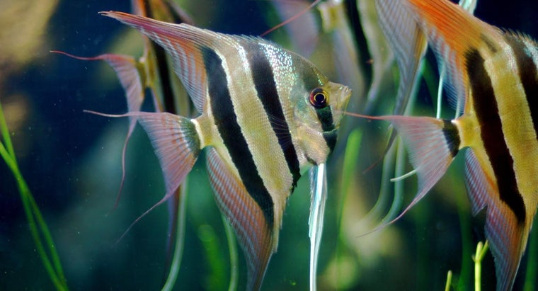 What Are Freshwater Angelfish?