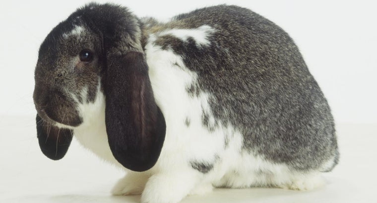 What Is the Friendliest Breed of Rabbit?