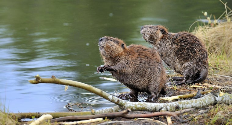 What Are Some Fun Beaver Facts for Kids?