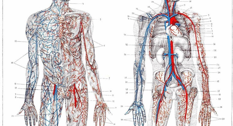 What Is the Function of the Arteries?