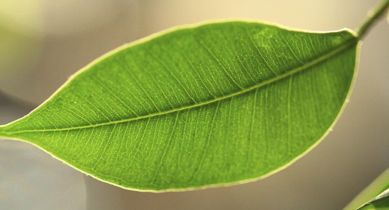 What Is the Function of Chlorophyll?