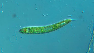 What Is the Function of the Eyespot of Euglena?