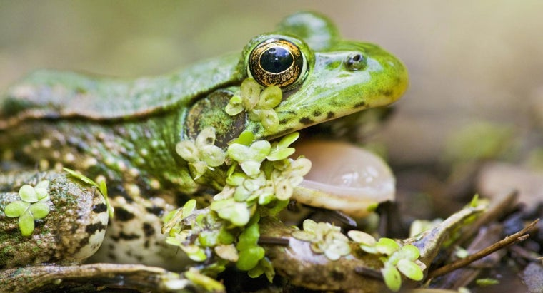 What Is the Function of a Frog's Glottis?