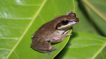 What Is the Function of the Oviducts in Frogs?