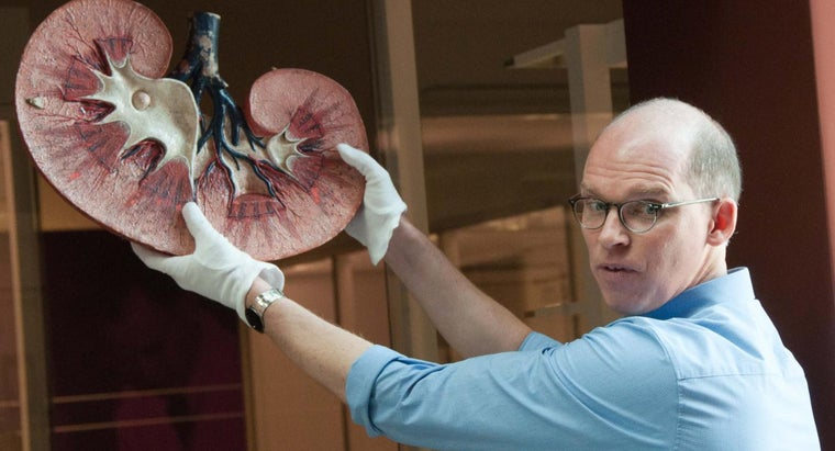 What Is the Function of the Renal Artery?