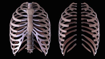 What Is the Function of the Rib Cage?