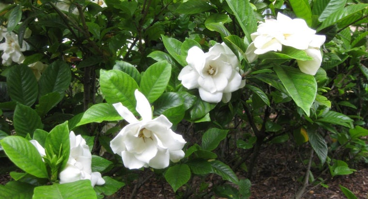 What Do You Do When Your Gardenia Leaves Turn Yellow?