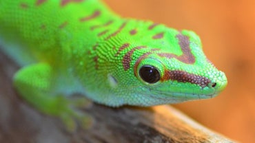 What Do Geckos Eat?