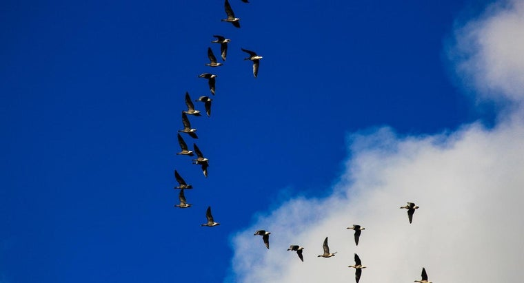 "Why Do Geese Fly in a ""V"" Shape?"