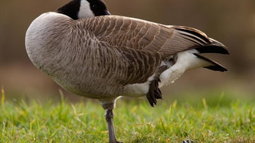 Why Do Geese Stand on One Leg?
