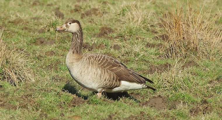 What Are Some Facts About Geese?
