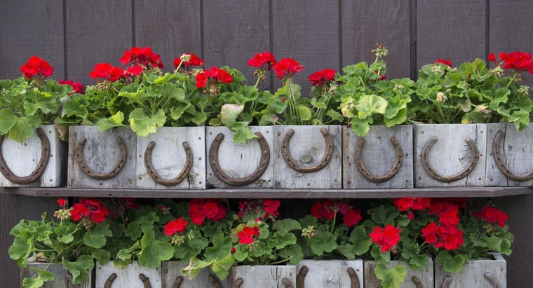 Are Geraniums Poisonous?