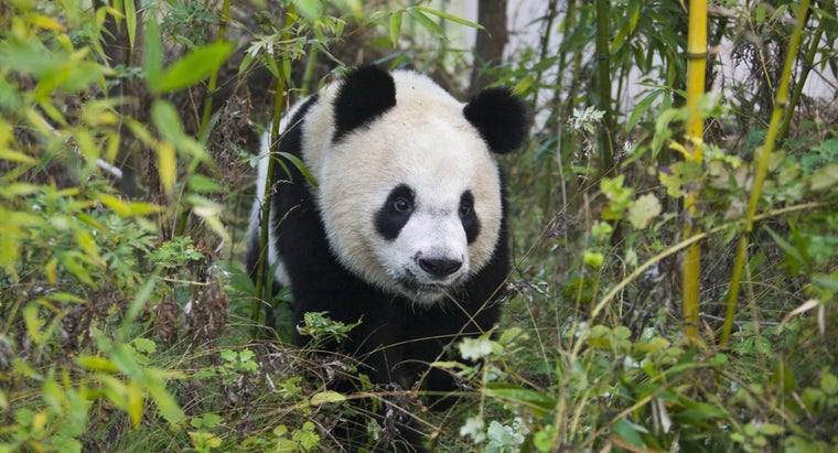Where Is the Giant Panda's Niche?