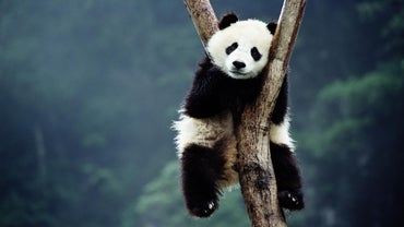 Why Are Giant Pandas Becoming Extinct?