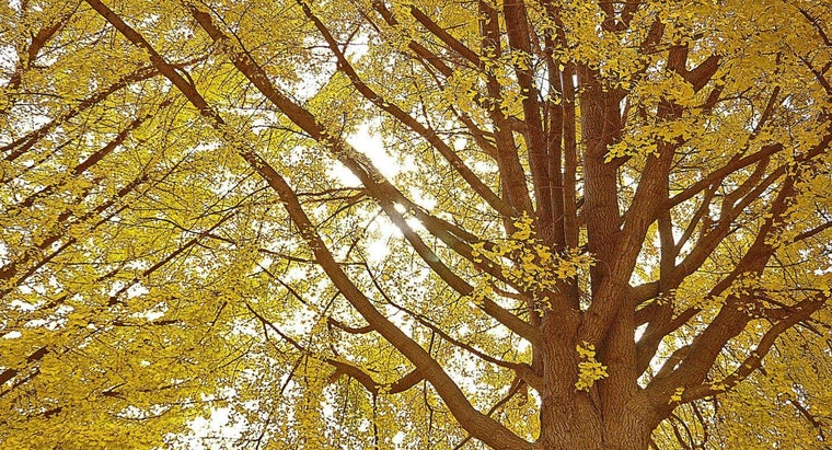 What Is the Ginkgo Tree?