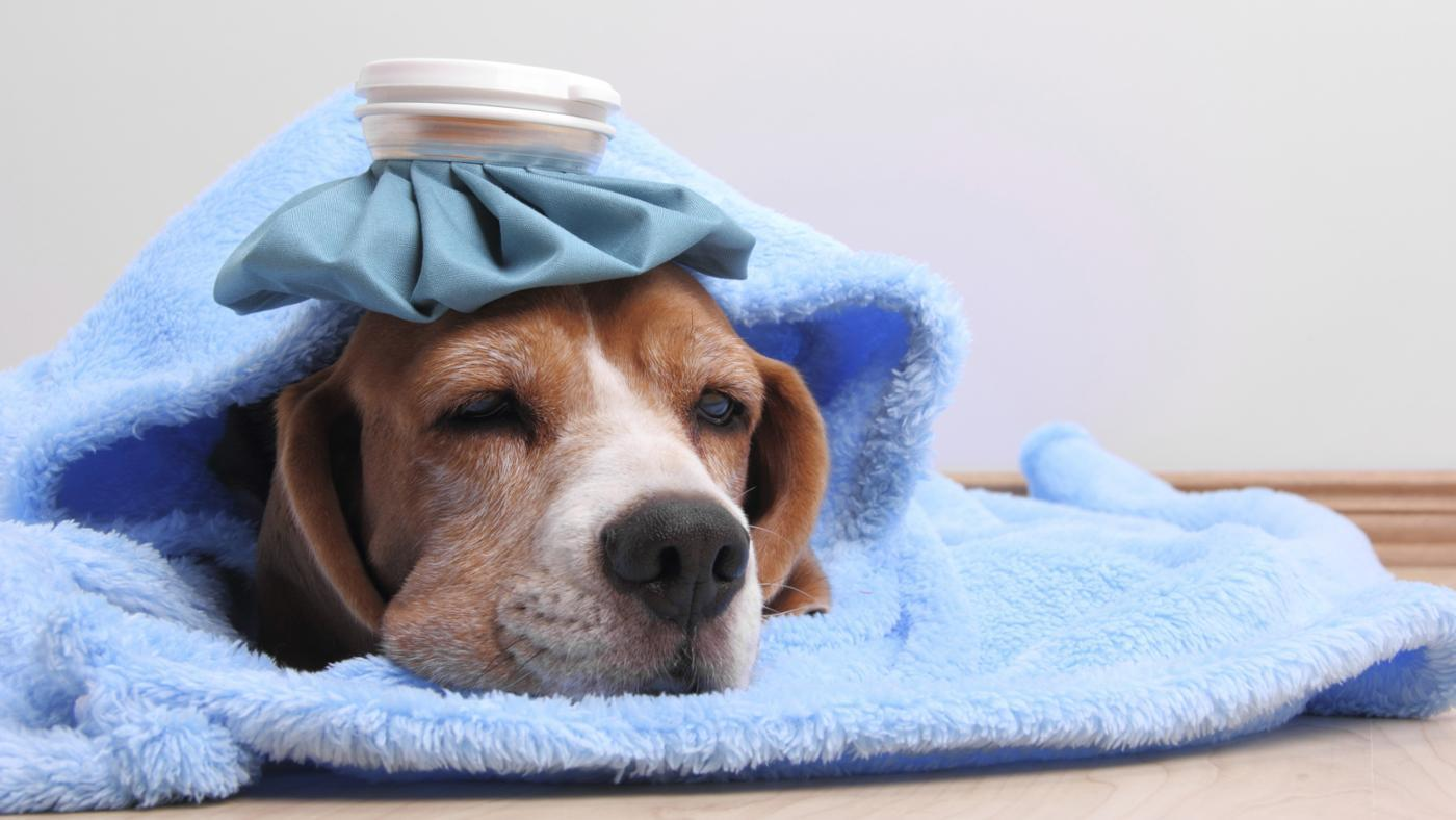 What Do You Give a Dog With a Fever?