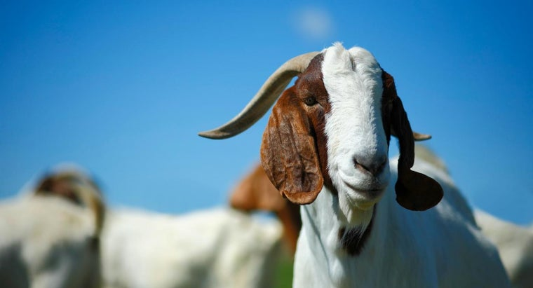 What Is Goat Soap?