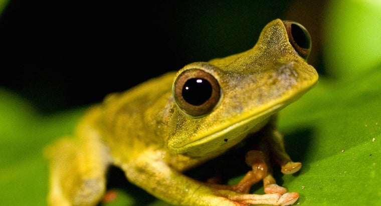 What Is a Golden Tree Frog?