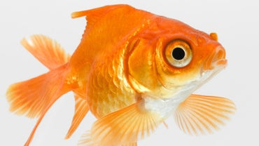 Why Is My Goldfish Gulping Air?