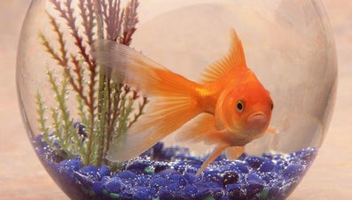 What Is the Habitat of a Goldfish?