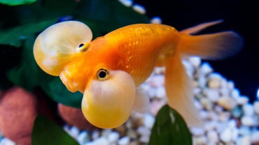 Why Do Goldfish Sit at the Bottom of a Tank?