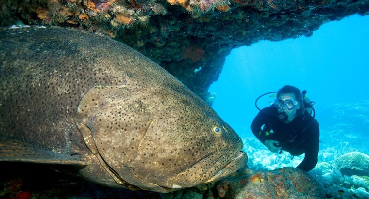 What Is a Goliath Grouper?