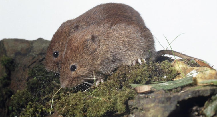 What Is a Good Method for Getting Rid of Voles?