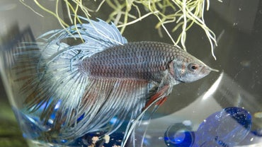 What Is a Good Name for a Betta Fish?